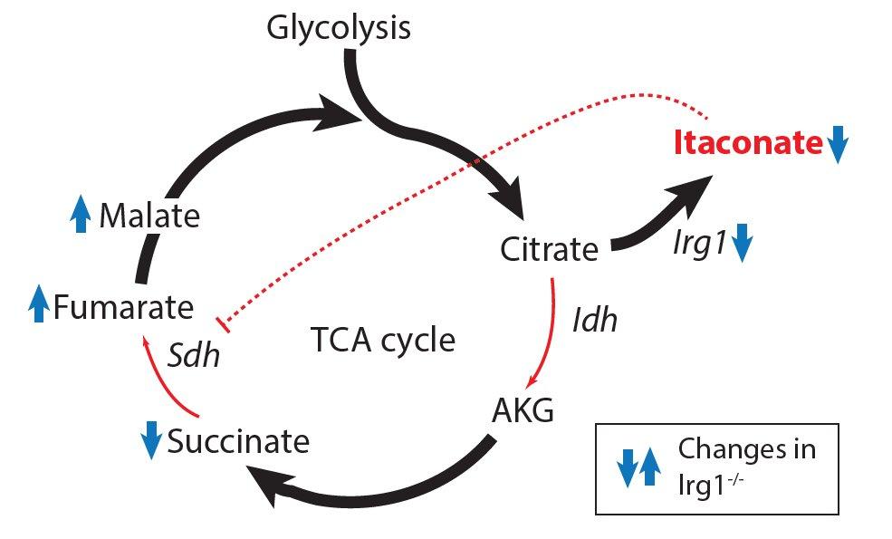 Круговорот веществ для получения энергии в клетке. Источник: Cell Metabolism