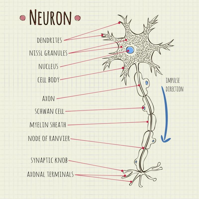 Строение нейрона. Источник: depositphotos.com