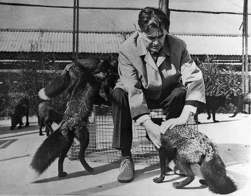 Geneticist Dmitry Belyayev with his domesticated foxes. Photo courtesy of the Institute of Cytology and Genetics of the Siberian Branch of the RAS
