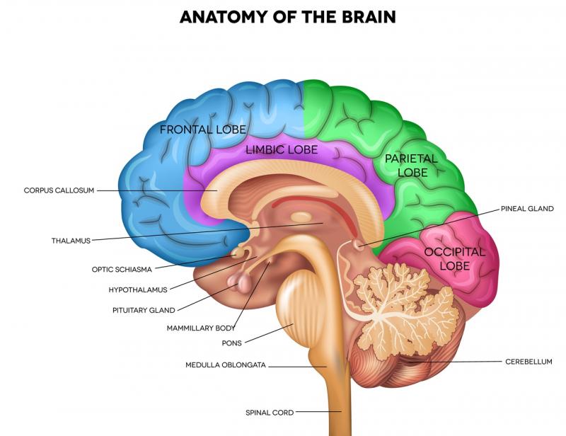 Отделы мозга. Источник: shutterstock.com