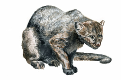 ITMO Scientists Are First to Assemble Jaguarundi Genome